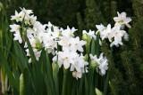Paper Whites - University Place Florist