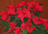Poinsettias in NYU Residence Lobby