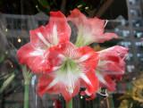 Amaryllis - Anthology Floral Shop Window
