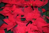 Poinsettia - NYU Residence Lobby
