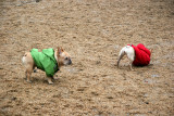 Pugs with Christmas Colors in the Dog Run
