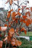 Witch Hazel Bush Foliage