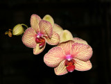 """Orchids - Phalaenopsis """"Floating Orchid Blossoms – Harvest Moon"""""""