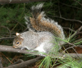 Squirrel in a Pine Tree