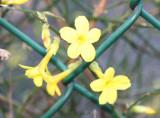 Jasiminum nudiflorum