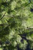 Long Needle Pine