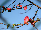 Quince Blossoms through a Chain Link Fence