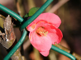 Quince Blossom through a Chain Link Fence