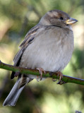 Sparrow in a Peach Tree