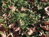 Wild Strawberry Foliage