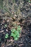 Rose Bush & Perennial Geranium