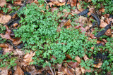 Unknown Ground Foliage
