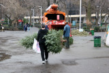 Carrying the Tree for Mulching