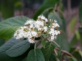 Early Viburnum Blossoms