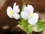 Early Nemisia Blossoms