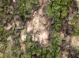 Sycamore Tree Bark