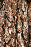 English Elm Bark