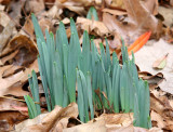 Daffodil Sprouts