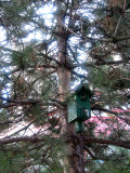 Bird House in a Pine Tree
