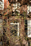 Quince Bush Buds at Washington Square North