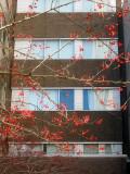 Hawthorne Berries - NYU Medical Center