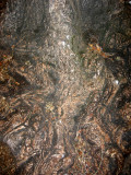 Locust Tree Trunk