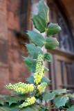 Mahonia Blossoms at the Ascension Church