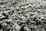First Snow of the Season - Juniper Bushes