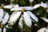 First Snow of the Season - Rhododendron