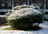 First Snow of the Season on Boxwood & Rhododendron