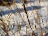Cleome Seed Pods