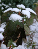 Snow on Hydrangea Foliage