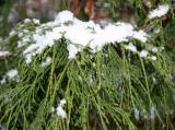 Snow on Unknown Tree Foliage