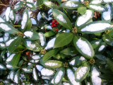 Skimmia with Snow & Red Berries