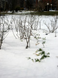 Rose Bushes & Iris Foliage in Snow