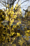 Forsythia - Chez Jacqueline Restaurant Window with Street Reflections