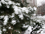Snow on Pine Boughs - Bleecker Street View