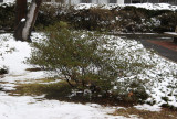Azalea Bush in the Snow
