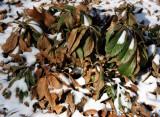 Helleborus in the Snow