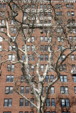 Sycamore Tree at Washington Sq West & West 4th Street