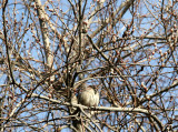 Sparrow in a Pussy Willow Tree