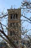 Tulip Tree Buds & Judson Church Bell Tower