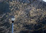 Scholar Tree Seed Pods