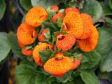 Calceolaria or Pocket-Slipper Blossoms