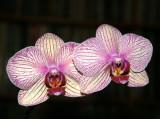Orchids - Phalaenopsis