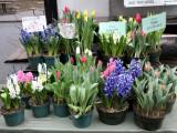 Hyacinths & Tulips