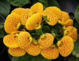 Calceolaria or Pocket/Slipper Flower