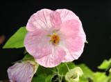 Abutilon - Flowering Maple or Malva