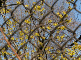 Witch Hazel Blossoms - St Luke's Church Garden