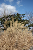 Pampas Grass & Pine Tree